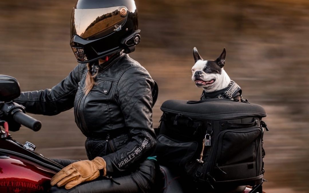 The Legal History of Dogs On Motorcycles & Cricket The Boston Terrier in 2020